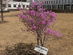 紫躑躅(ムラサキツツジ) ツツジ科の中では一番早く咲き始めます (H9.卒業生の記念樹)